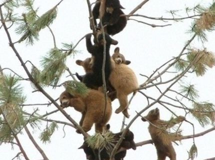 Medvede rastú na stromoch :O