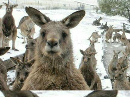 Keď klokana zaskočí sneh :D