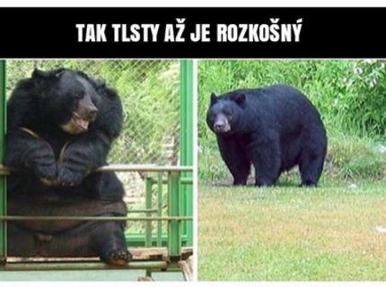 Medved je tak tlstý az si ziskal srdcia ludi na internete :D